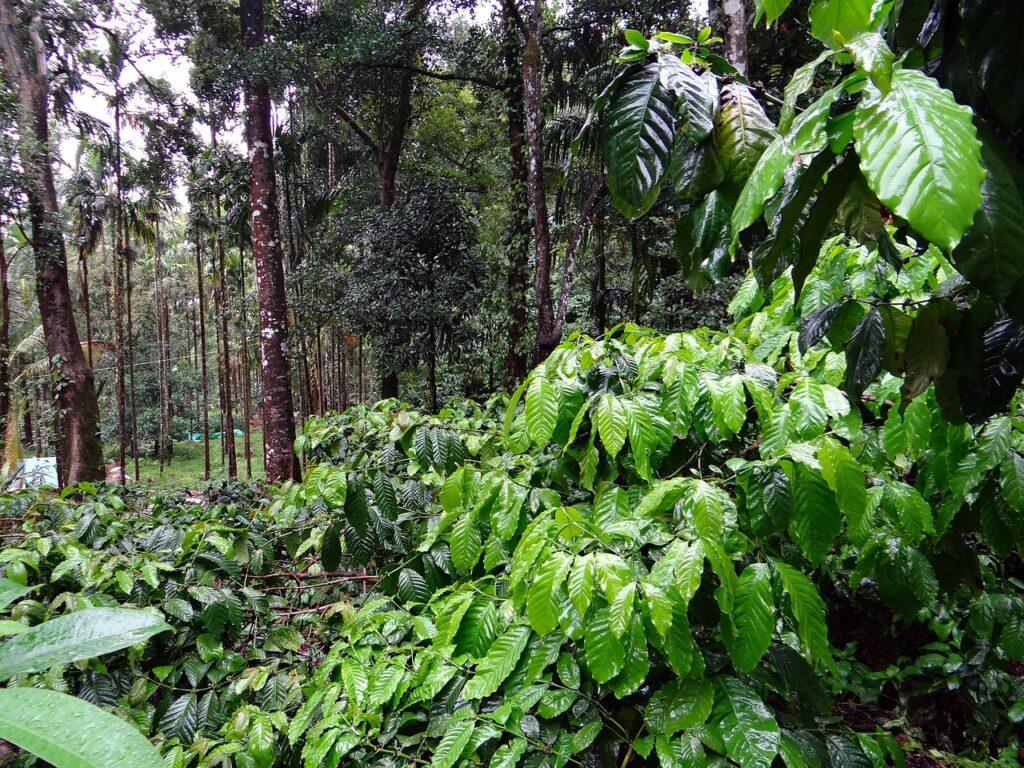 coffee plantation, coffea robusta, madikeri