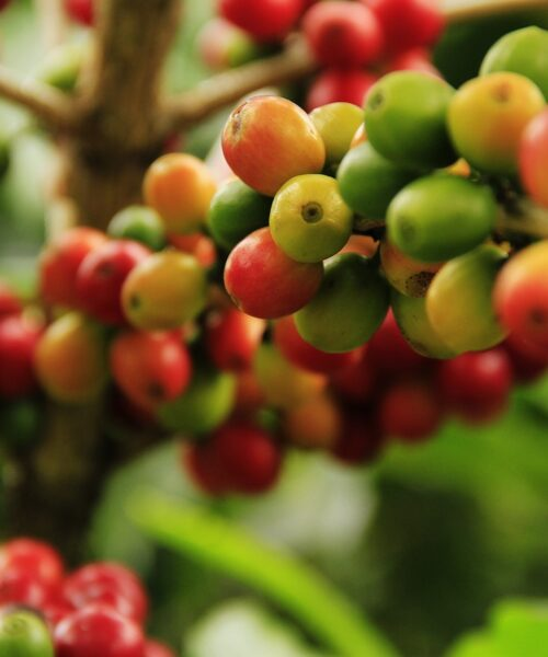 coffee grains, mature, agriculture